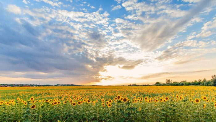 sunflower background virtual backgrounds field for zoom meetings