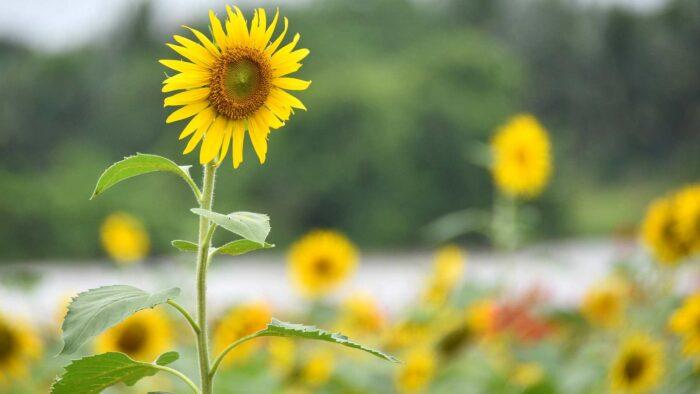 sunflower zoom background