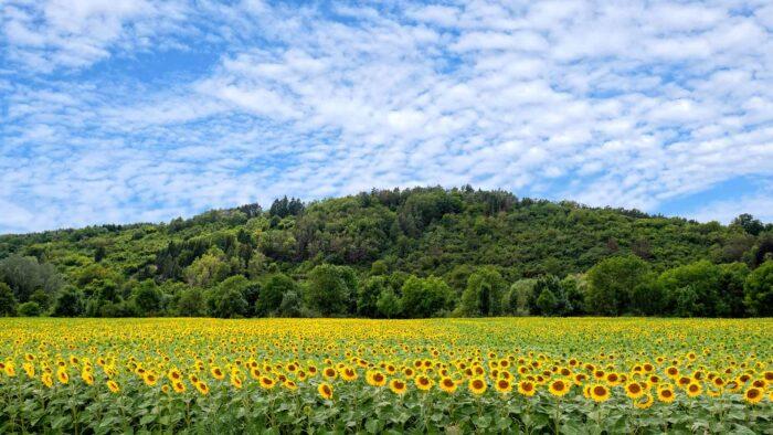 sunflower zoom virtual backgrounds free nature beautiful field background
