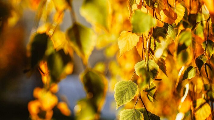 autumn background leaves virtual backgrounds for zoom meetings