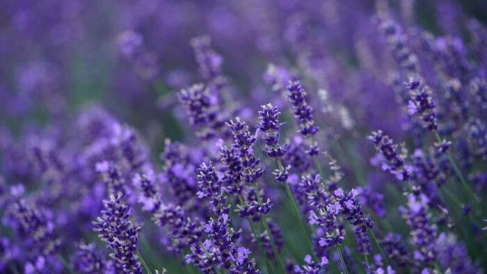 purple flowers zoom background flower virtual backgrounds