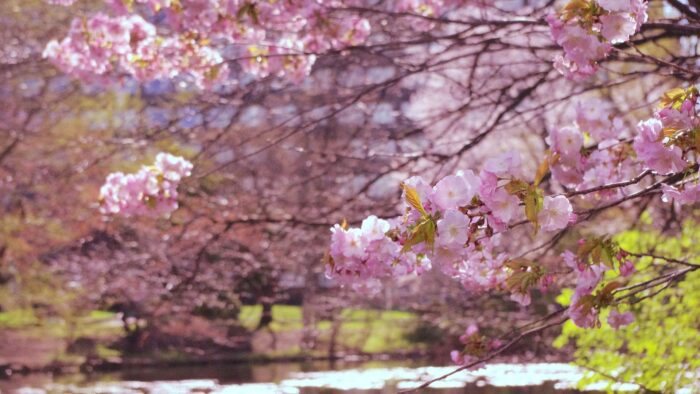 cherry blossom background springtime tree virtual backgrounds for zoom meetings