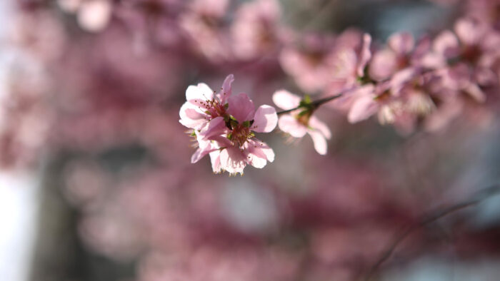 cherry blossom zoom virtual backgrounds spring break pink flowers background