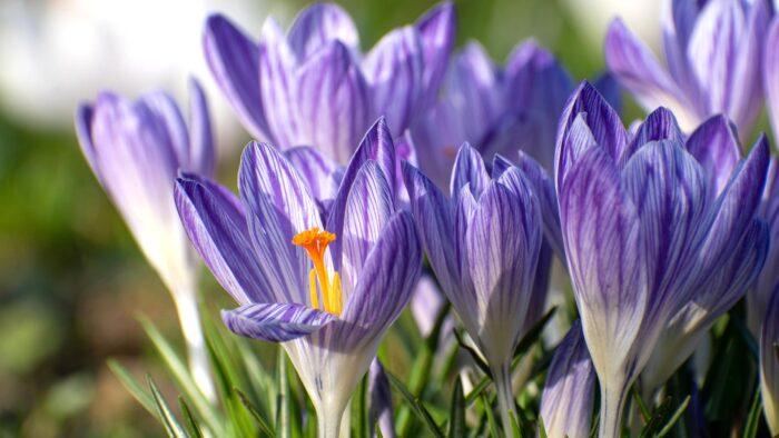 high resolution purple spring flowers background desktop wallpaper beautiful images