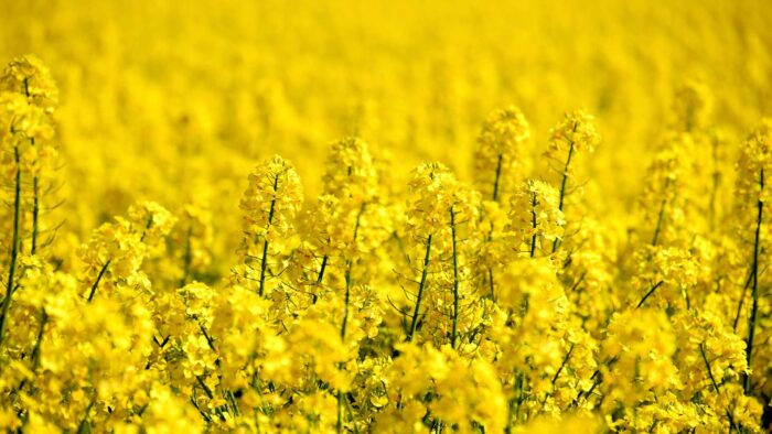 yellow zoom virtual backgrounds flower fields garden background