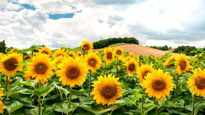 summer flowers zoom background virtual backdrops
